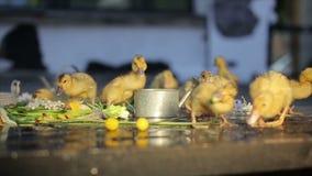 Ducklings under rain drops. Ducklings under the rain drops stock video