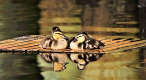 Ducklings waiting on mom for food stock photography