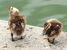 Ducklings on a Walk. Close Up of Two ducklings royalty free stock photography