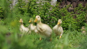 Ducklings walking through the grass drinking water, play eating grass sunny day basking in the sun quacking bright juicy stock video footage