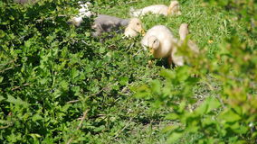 Ducklings walking through the grass drinking water, play eating grass sunny day basking in the sun quacking bright juicy stock footage