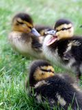 Ducklings in a wanstead park, london Royalty Free Stock Image