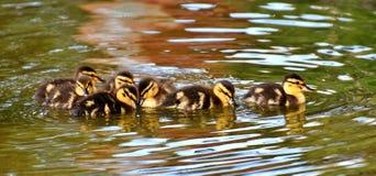 Ducklings in water