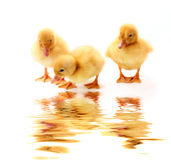 ducklings and water stock photo