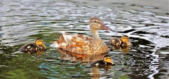 Circle of Ducks royalty free stock photography