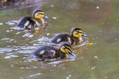 These ducklings feeding in a small pond stock photos