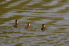 Ducklings which swim in the lake - France. Ducklings which swim in the lake of the pond of the mute. They are some backs the others and are enlightened by the Royalty Free Stock Photo