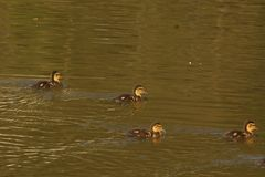 Ducklings in the sun - France royalty free stock photography