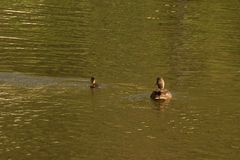 Ducklings in the lake - Front view - France. Ducklings which swim in the lake of the pond of the mute. They are some backs the others and are enlightened by the Royalty Free Stock Image