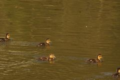 Ducklings, sun and the lake - France. Ducklings which swim in the lake of the pond of the mute. They are some backs the others and are enlightened by the sun Stock Photography