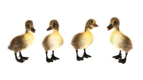 Ducklings On White Stock Photo