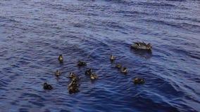 Ducklings stock video footage
