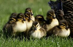 Ducklings. (12) Royalty Free Stock Image