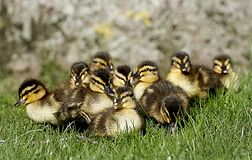 Ducklings. (14) Royalty Free Stock Image