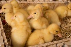 Ducklings stock photos