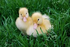 Ducklings Royalty Free Stock Image