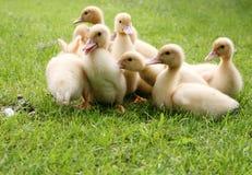 ducklingsgräs arkivbild