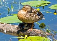 ducklingsmoder Arkivfoto