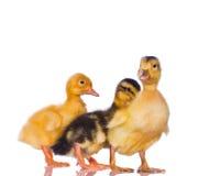 ducklingsyellow Arkivfoton