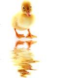 ducklingvatten arkivbilder