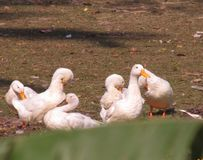 ducks белизна стоковое фото