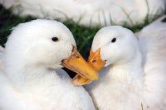 ducks белизна Стоковая Фотография