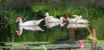 ducks белизна Стоковое фото RF