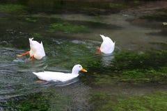 ducks белизна Стоковые Фотографии RF