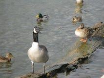 ducks гусыни Стоковая Фотография RF