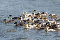 ducks детеныши Стоковое фото RF