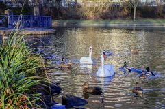 ducks лебеди Стоковое фото RF