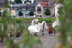 ducks лебеди Стоковые Фотографии RF