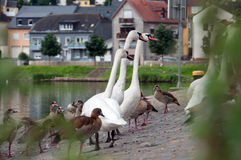 ducks лебеди Стоковая Фотография RF