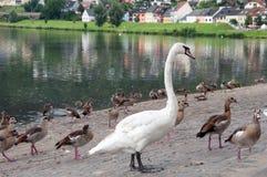 ducks лебеди Стоковое Изображение RF
