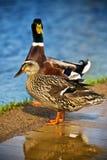 ducks женский мыжской mallard Стоковые Изображения