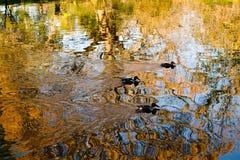 ducks заплывание озера отражая Стоковые Фото