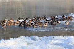 ducks зима Стоковое Изображение RF