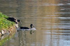ducks идя озеро Стоковое Изображение RF