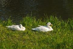 ducks идя aorund улица стоковое изображение