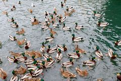 ducks много Стоковое Фото