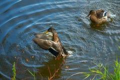 ducks одичалое стоковая фотография