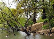 ducks озеро Стоковое фото RF