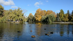ducks озеро видеоматериал