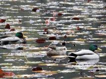 ducks озеро Стоковые Изображения
