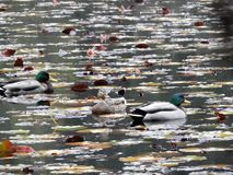 ducks озеро Стоковые Изображения RF