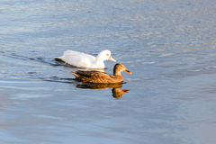 ducks озеро Стоковое Изображение