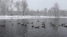 ducks озеро сток-видео