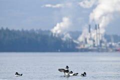 ducks окружающая среда Стоковое Изображение