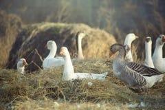 ducks одичалое Стоковые Фото