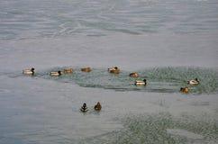 ducks одичалая зима Стоковые Изображения